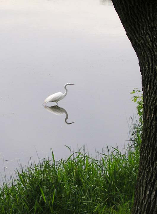 egret Como Lake, St. Paul, MN