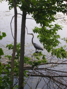 Heron at Lake Como